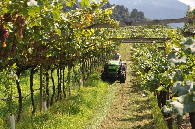 """Vendemmia 2014 in Trentino: è """"il sabato nel villaggio"""" di Maso Martis"""