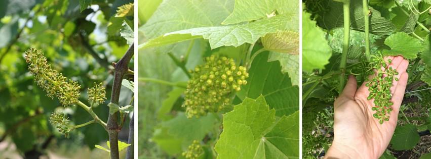 maso martis - viti - fioritura - ciclo dei mesi - trentodoc