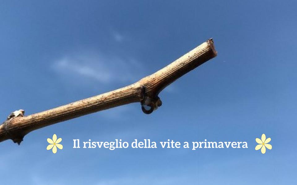 IL RISVEGLIO DELLA VITE A PRIMAVERA